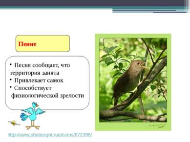 Пение Ритуальное поведение птиц http://www.photosight.ru/photos/872396/ Песня...