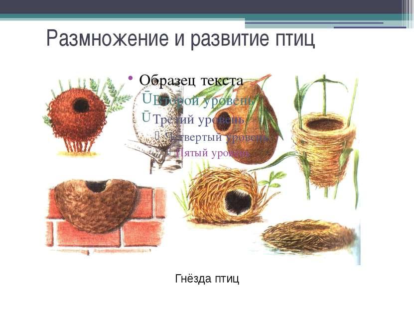 Размножение и развитие птиц Гнёзда птиц
