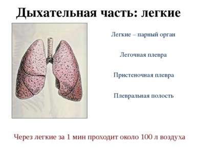 Дыхательная часть: легкие Легочная плевра Легкие – парный орган Пристеночная ...