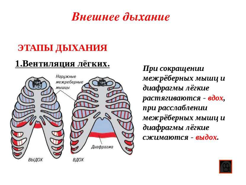 Внешнее дыхание 1.Вентиляция лёгких. ЭТАПЫ ДЫХАНИЯ При сокращении межрёберных...