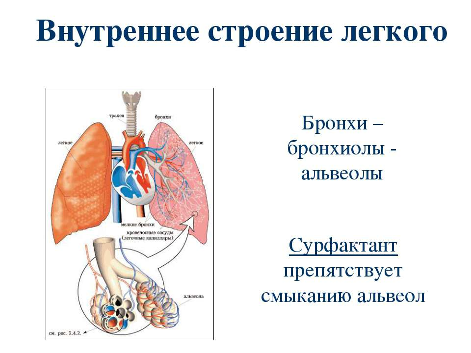 Внутреннее строение легкого Бронхи – бронхиолы - альвеолы Сурфактант препятст...