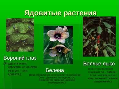Ядовитые растения Белена (При отравлении её появляется головная боль. Дыхание...