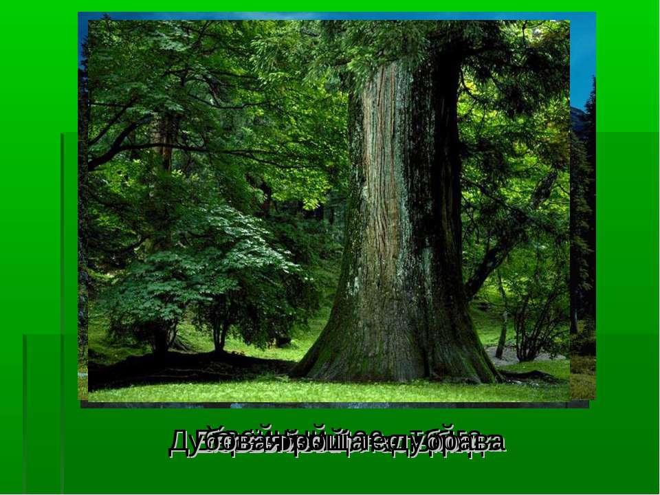 Хвойный лес - тайга Сосновый лес - бор Еловый лес - ельник Берёзовый лес - ро...
