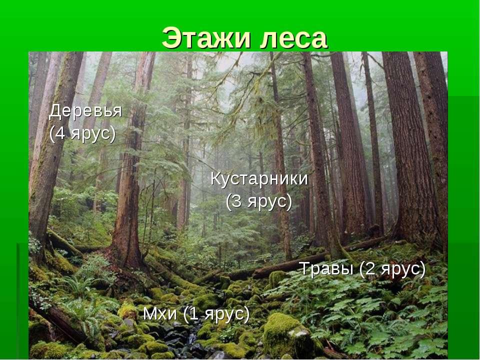 Этажи леса Деревья (4 ярус) Кустарники (3 ярус) Травы (2 ярус) Мхи (1 ярус)