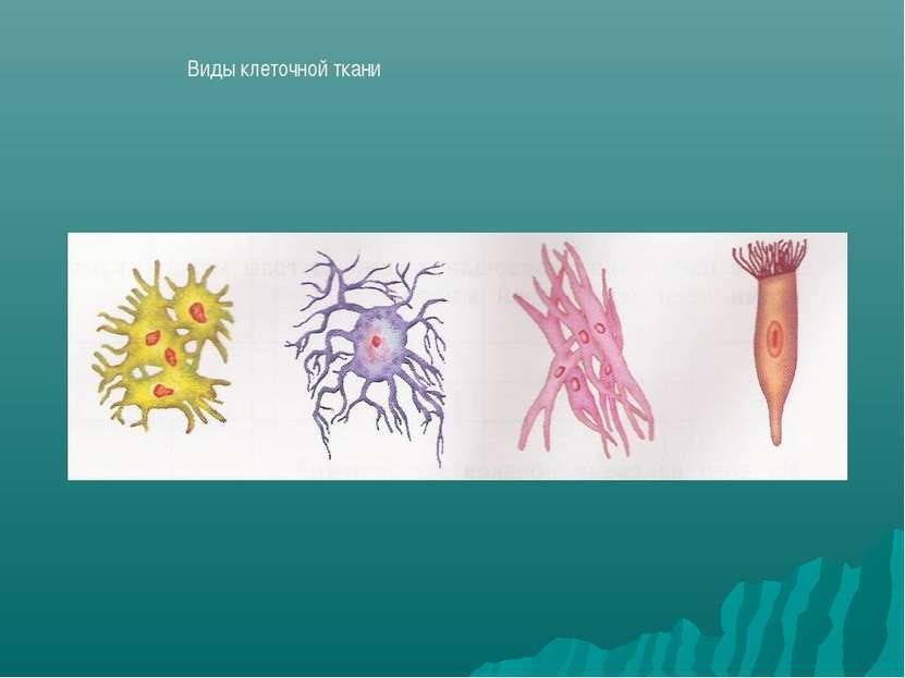 Виды клеточной ткани