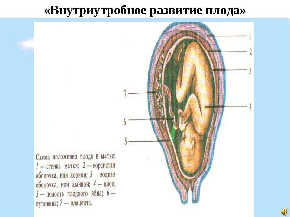 «Внутриутробное развитие плода»