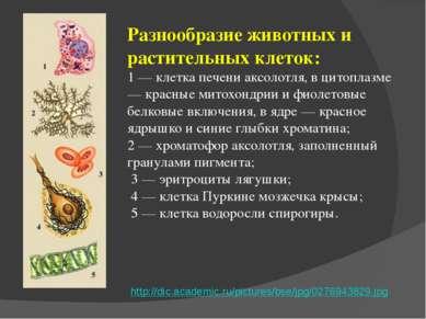 Разнообразие животных и растительных клеток: 1 — клетка печени аксолотля, в ц...