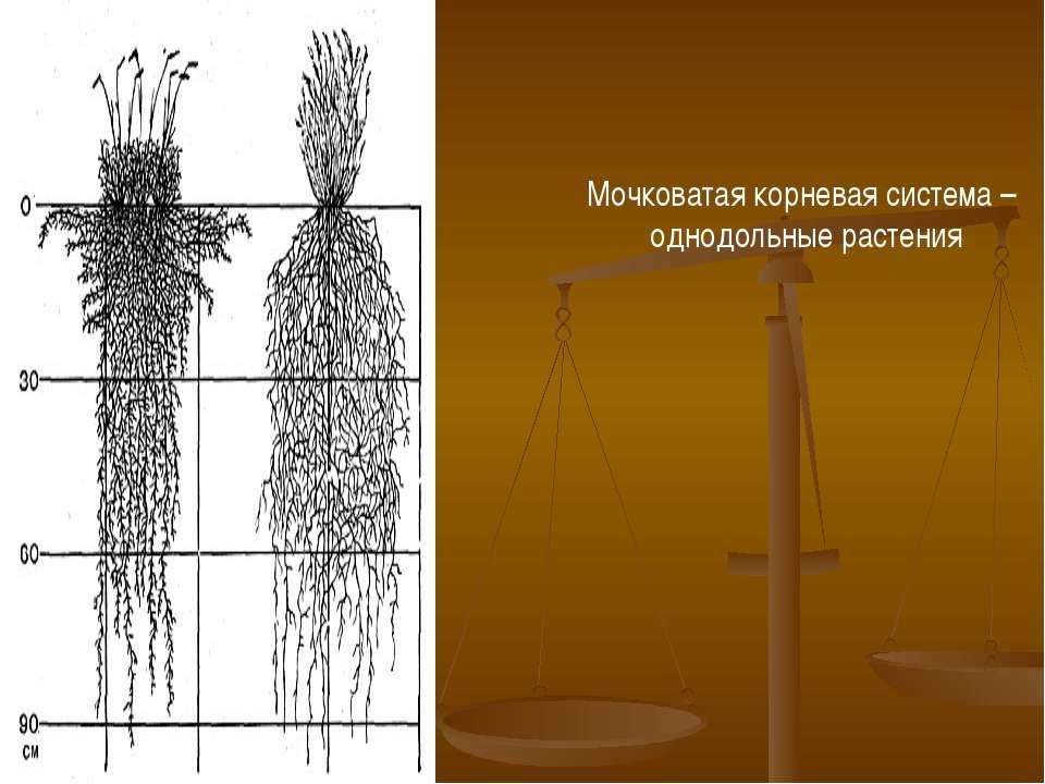 Мочковатая корневая система – однодольные растения