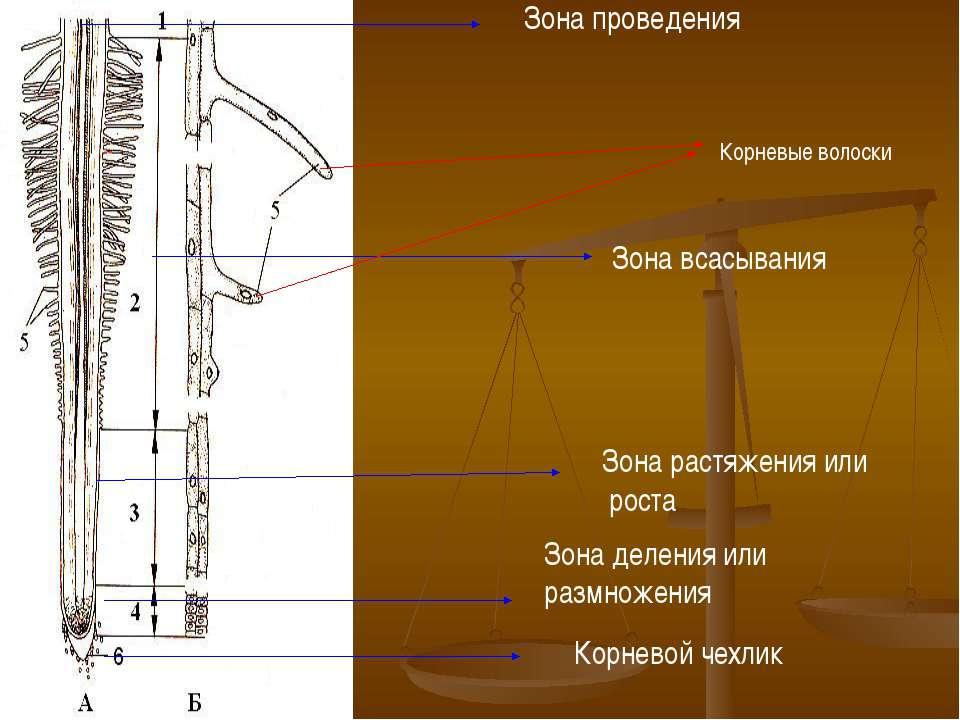 Корневой чехлик Зона деления или размножения Зона растяжения или роста Зона в...