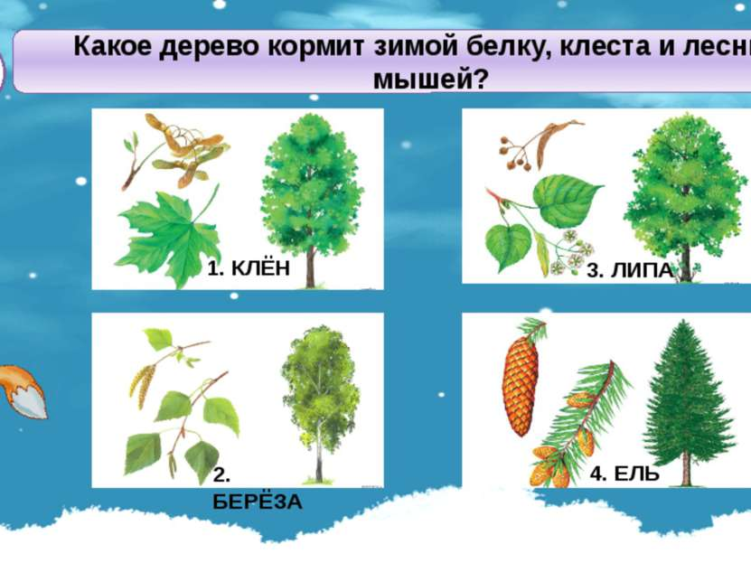 Какое дерево кормит зимой белку, клеста и лесных мышей? А1 2. БЕРЁЗА 3. ЛИПА ...
