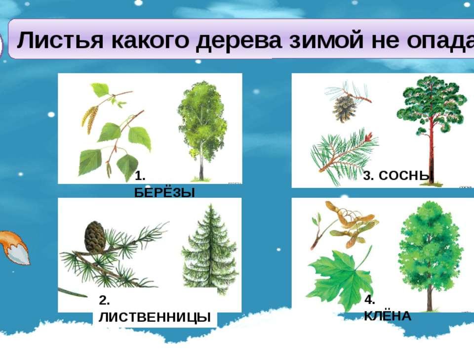Листья какого дерева зимой не опадают? А3 4. КЛЁНА 1. БЕРЁЗЫ 3. СОСНЫ 2. ЛИСТ...