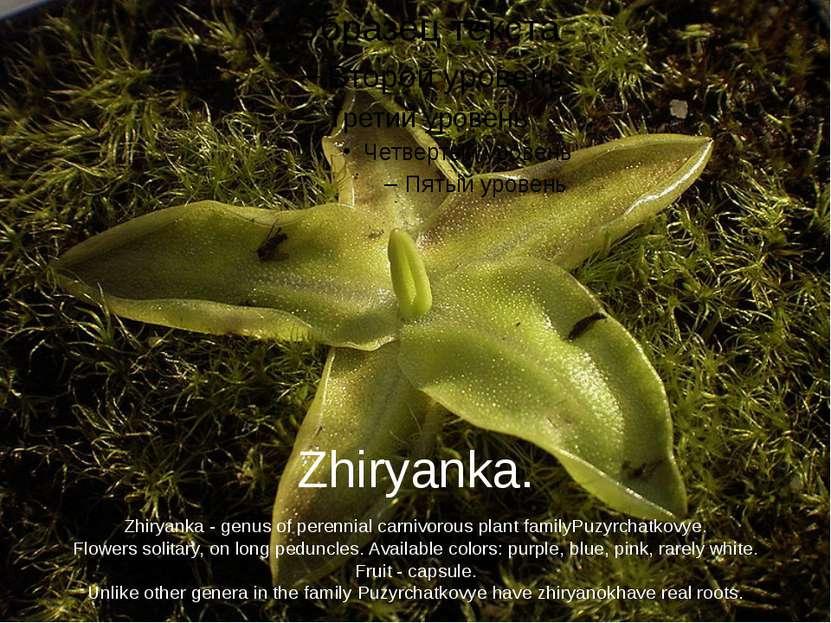 Zhiryanka. Zhiryanka-genus of perennialcarnivorousplant familyPuzyrchatko...