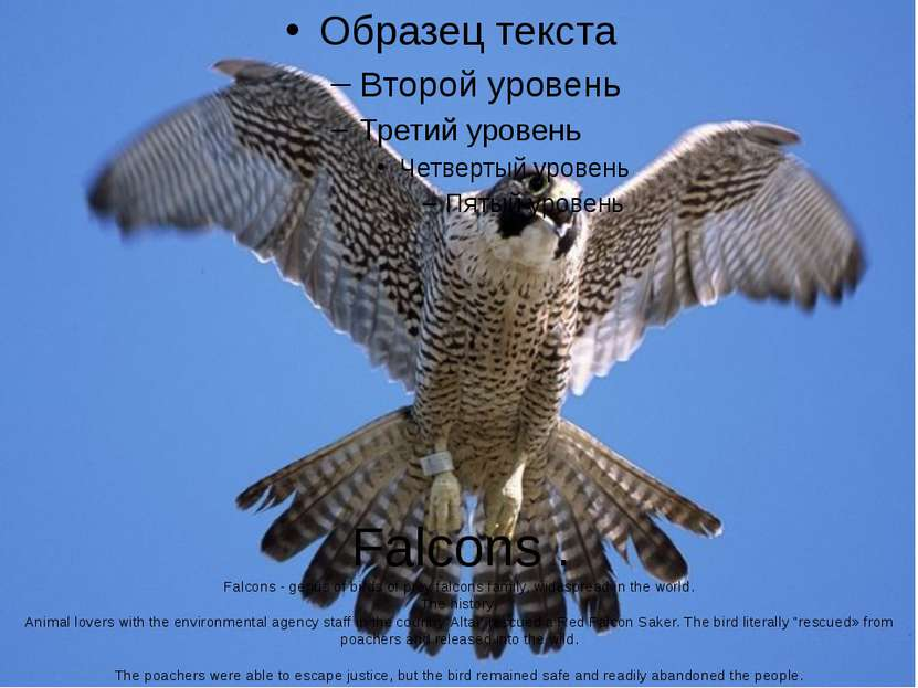 Falcons . Falcons - genus of birds of prey falcons family, widespread in the ...