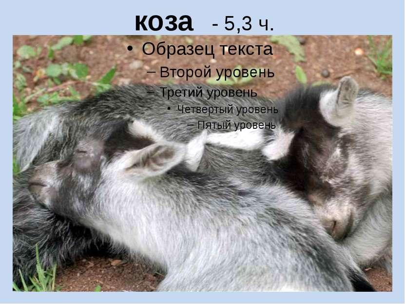 коза - 5,3 ч.