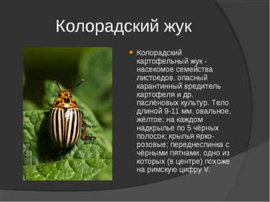 Колорадский жук Колорадский картофельный жук - насекомое семейства листоедов,...