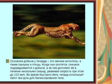 Основная добыча у гепарда – это мелкие антилопы, а также грызуны и птицы. Ког...