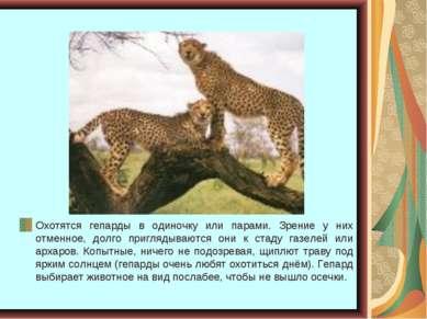 Охотятся гепарды в одиночку или парами. Зрение у них отменное, долго пригляды...