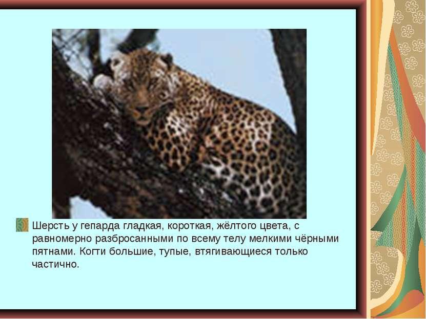 Шерсть у гепарда гладкая, короткая, жёлтого цвета, с равномерно разбросанными...