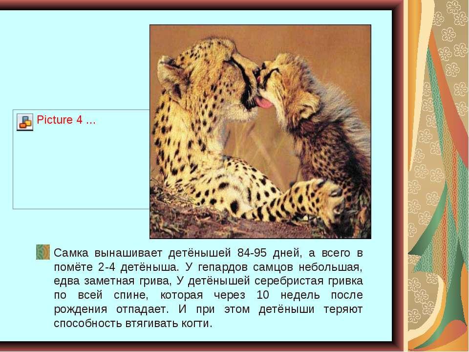 Самка вынашивает детёнышей 84-95 дней, а всего в помёте 2-4 детёныша. У гепар...