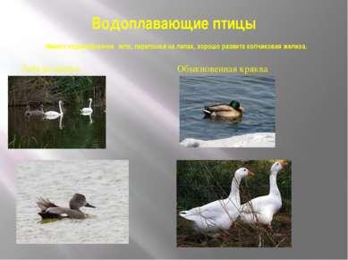Водоплавающие птицы Имеют лодкообразное тело, перепонки на лапах, хорошо разв...