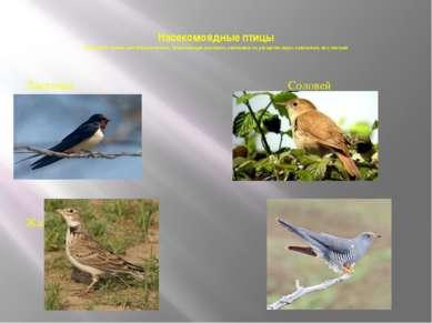 Насекомоядные птицы Они имеют тонкие заостренные клювы, позволяющие доставать...