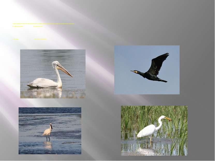 Характерной особенностью фауны птиц является присутствие значительного количе...