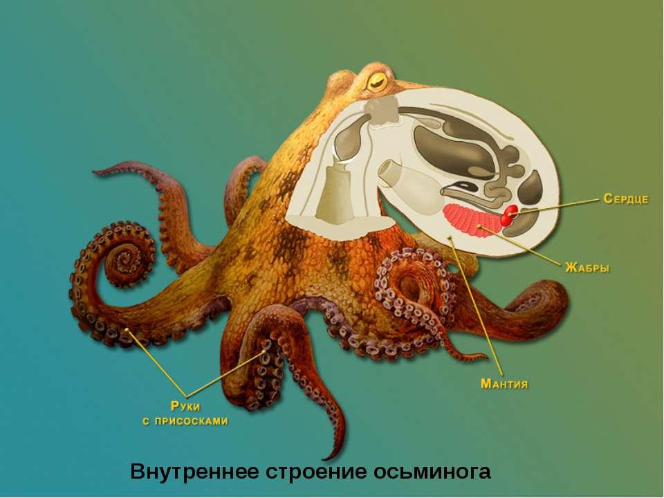 Внутреннее строение осьминога