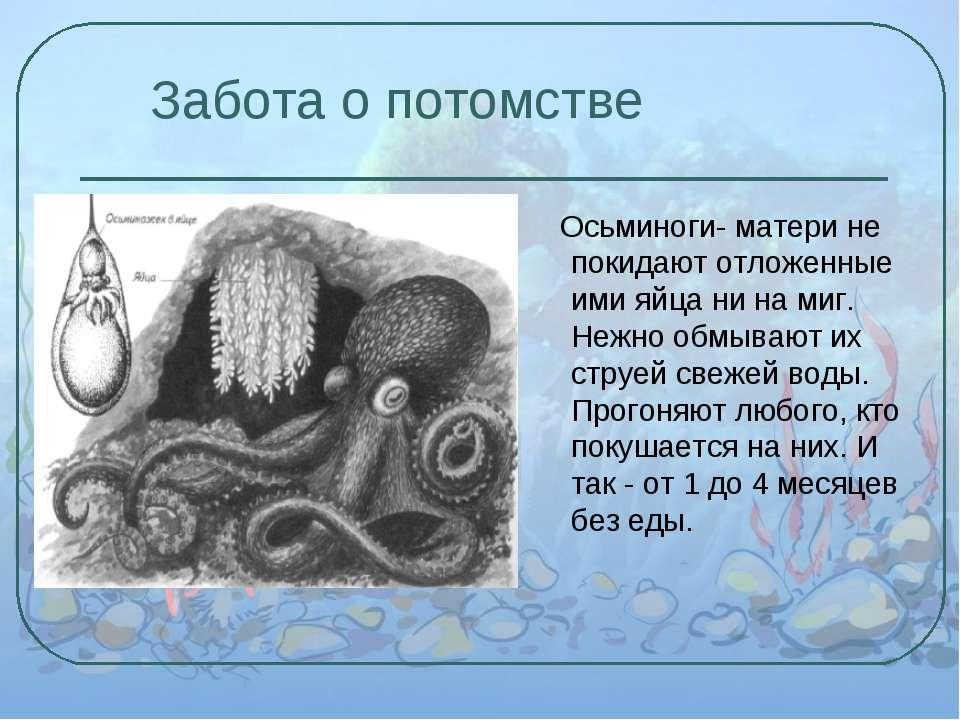 Забота о потомстве Осьминоги- матери не покидают отложенные ими яйца ни на ми...