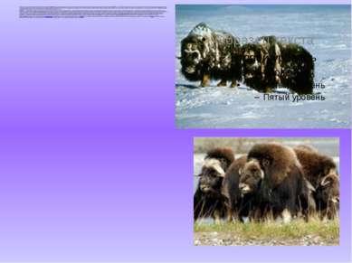 Несколько тысячелетий назад на территории нашего Се вера обитали овцебыки - ...