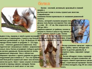 белка Белка – мелкий, активный, красивый и ловкий зверёк с вытянутым телом и ...
