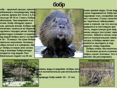бобр Бобр – крупный грызун, приспо - собленный к полуводному обра- зу жизни. ...