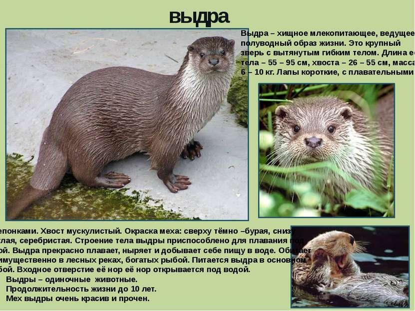 выдра Выдра – хищное млекопитающее, ведущее полуводный образ жизни. Это крупн...