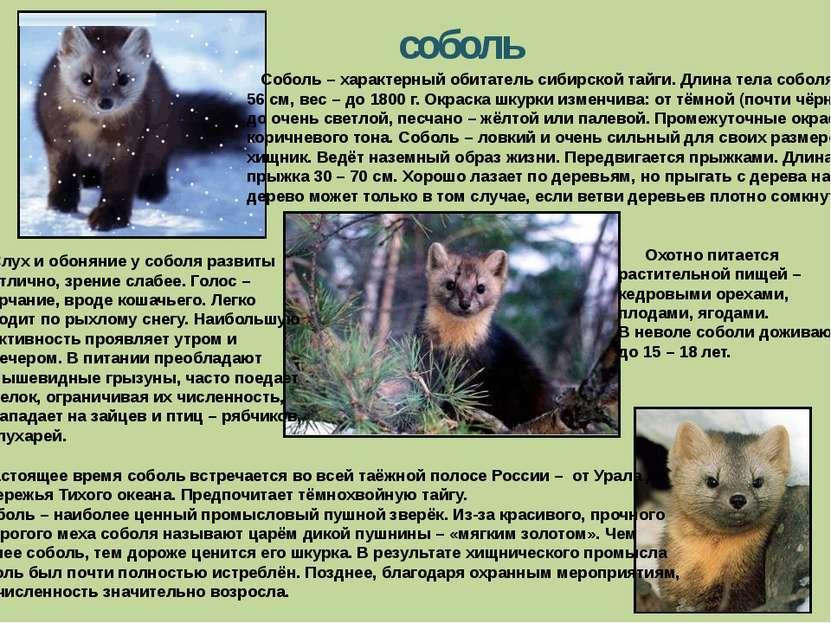 соболь Соболь – характерный обитатель сибирской тайги. Длина тела соболя – до...