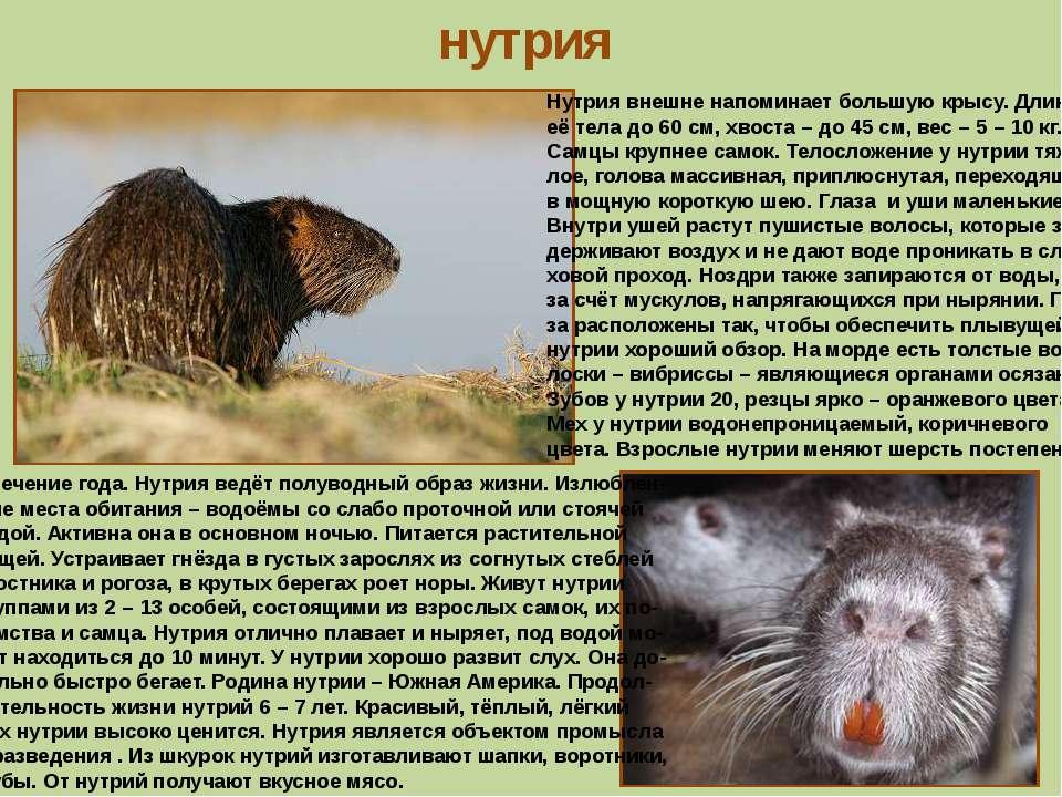 нутрия Нутрия внешне напоминает большую крысу. Длина её тела до 60 см, хвоста...