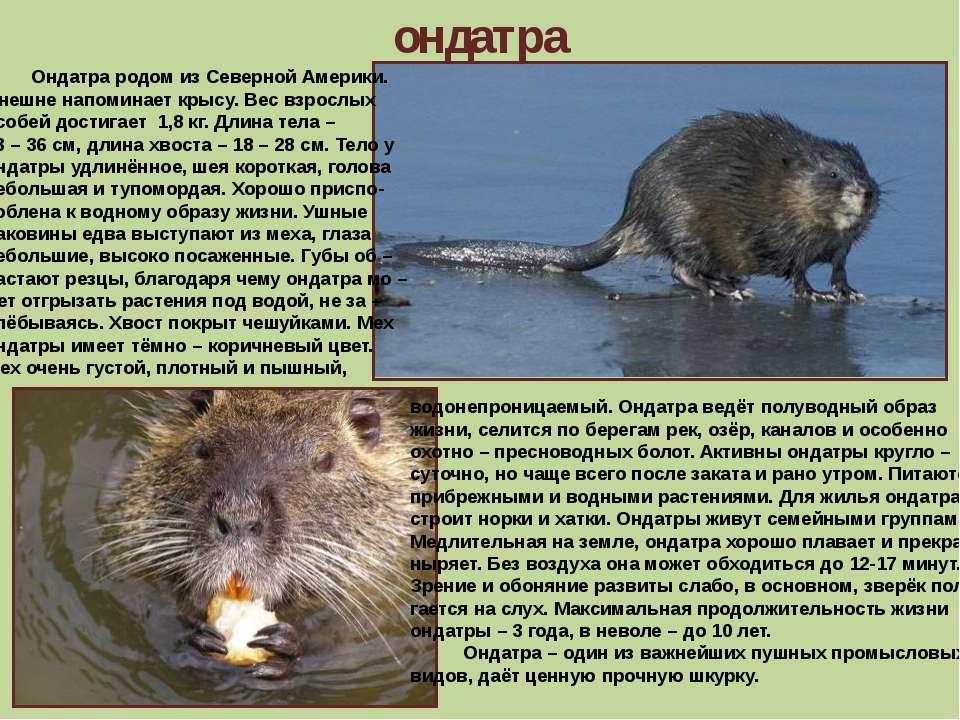 ондатра Ондатра родом из Северной Америки. Внешне напоминает крысу. Вес взрос...
