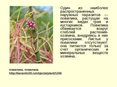 Один из наиболее распространенных наружных паразитов — повилика, растущая на ...