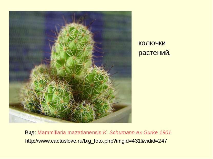 колючки растений, Вид: Mammillaria mazatlanensis K. Schumann ex Gurke 1901 ht...