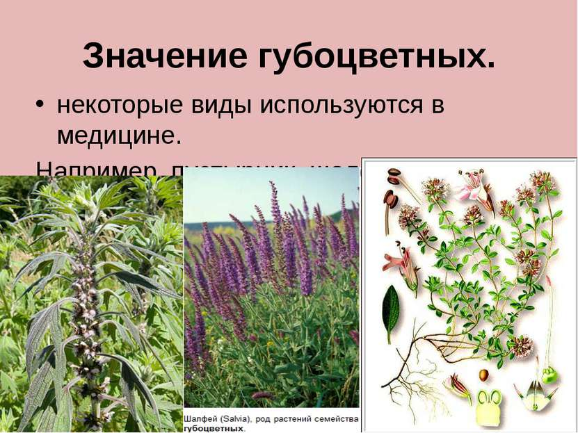 Значение губоцветных. некоторые виды используются в медицине. Например, пусты...