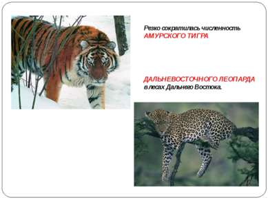 Резко сократилась численность АМУРСКОГО ТИГРА ДАЛЬНЕВОСТОЧНОГО ЛЕОПАРДА в лес...