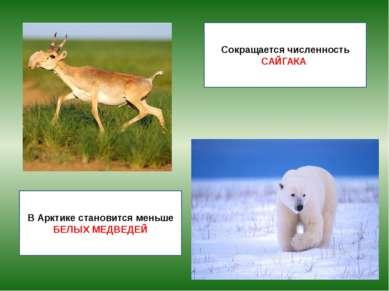 Сокращается численность САЙГАКА В Арктике становится меньше БЕЛЫХ МЕДВЕДЕЙ