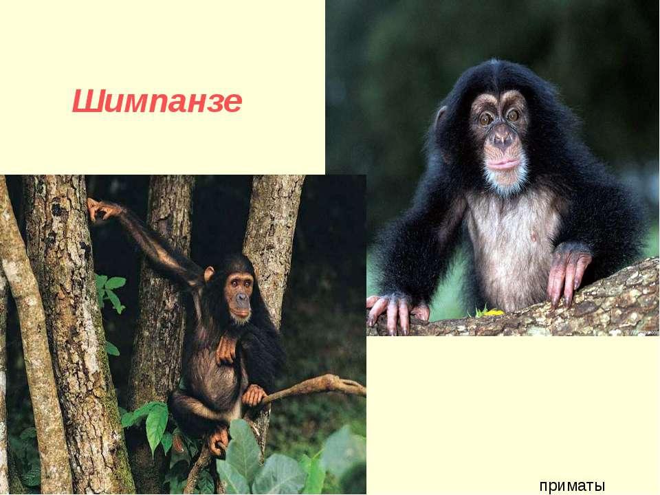 Шимпанзе приматы