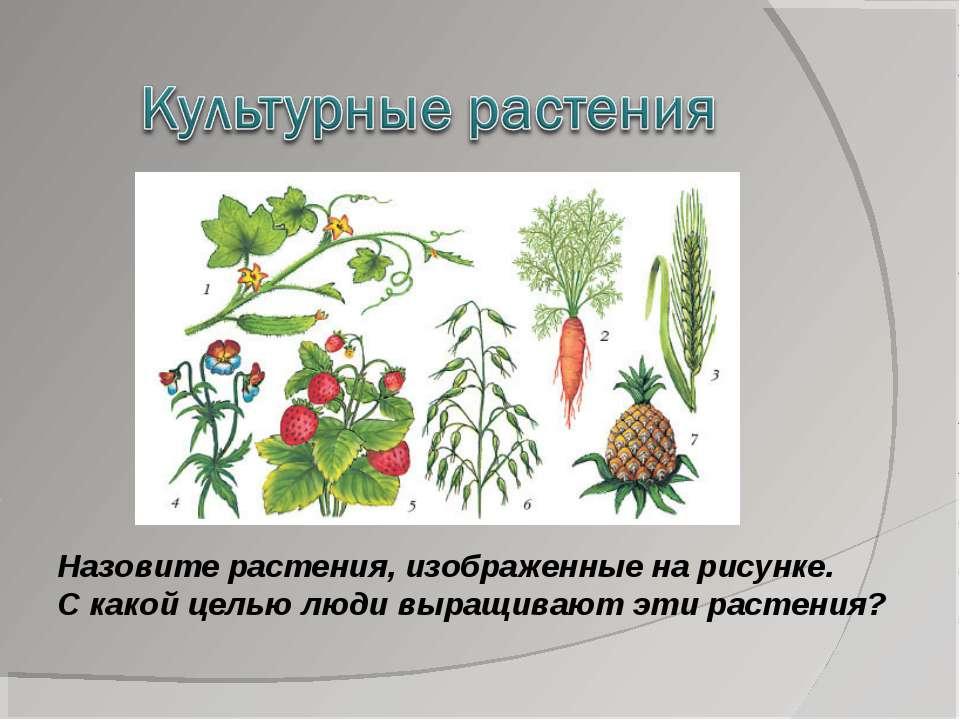 Назовите растения, изображенные на рисунке. С какой целью люди выращивают эти...
