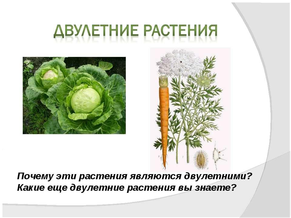 Почему эти растения являются двулетними? Какие еще двулетние растения вы знаете?