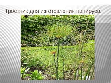 Тростник для изготовления папируса.