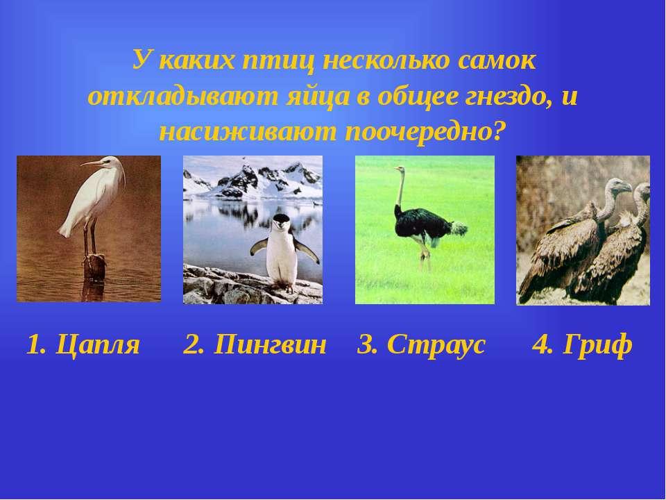У каких птиц несколько самок откладывают яйца в общее гнездо, и насиживают по...