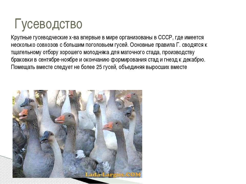 Гусеводство Крупные гусеводческие х-ва впервые в мире организованы в СССР, гд...