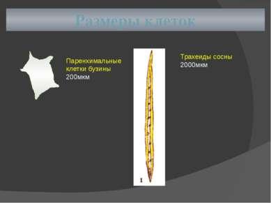Размеры клеток Паренхимальные клетки бузины 200мкм Трахеиды сосны 2000мкм