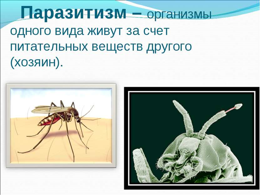Паразитизм – организмы одного вида живут за счет питательных веществ другого ...