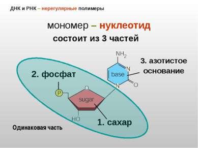 ДНК и РНК – нерегулярные полимеры мономер – нуклеотид 2. фосфат 1. сахар 3. а...