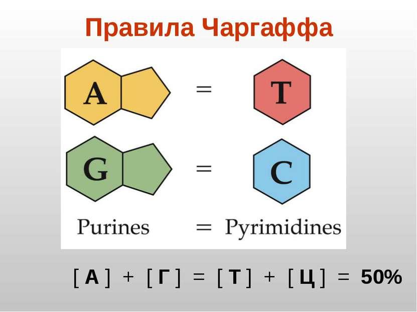 Правила Чаргаффа [ А ] + [ Г ] = [ Т ] + [ Ц ] = 50%